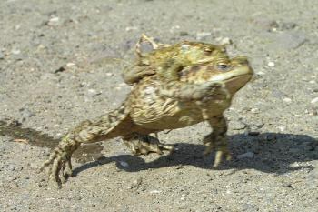 Žába nese jinou jako my své strany